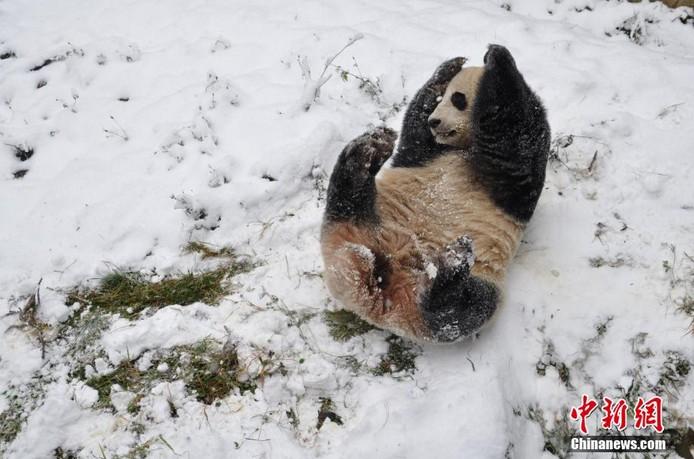 高清:昆明降雪 熊猫撒欢