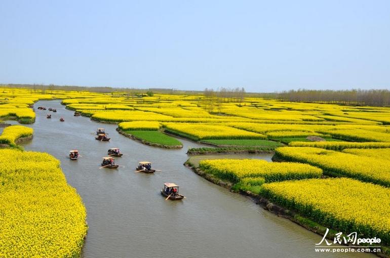 江苏省兴化市千垛菜花风景区金黄色的油菜花海