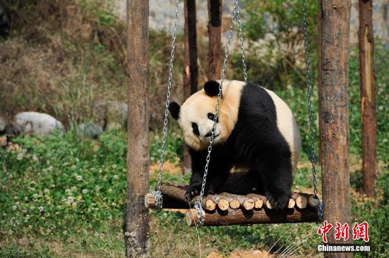 4月14日,正在看电视的大熊猫思嘉。近日,在云南野生动物园寄养的大熊猫美茜回四川后,单独留在昆明的大熊猫思嘉情绪低落,开始出现了许多反常举动。动物园想了许多办法,希望大熊猫思嘉能恢复正常。在6年前的5.12特大地震中,卧龙中国保护大熊猫研究中心严重受损,有3只大熊猫被送到到昆明寄养。中新社发 刘冉阳 摄