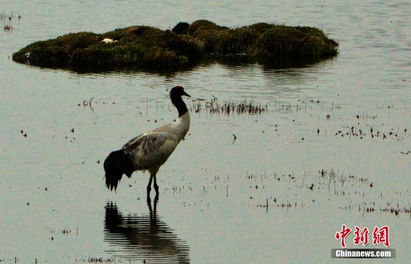 高清:甘肃肃北黑颈鹤等国家一级保护动物大量繁殖