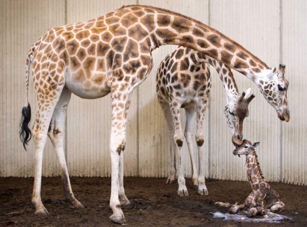高清:记录荷兰动物园长颈鹿生子 做父母显舐犊之情【2