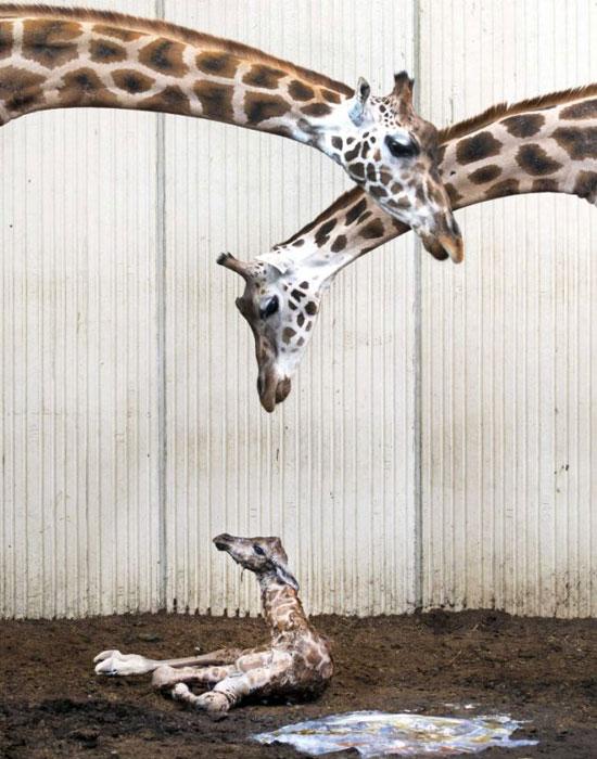 英国《每日邮报》报道称,荷兰盖亚动物园怀胎15个月的长颈鹿尤拉于当地时间6月20日诞下一子。日前曝光的一组照片中,尤拉正关切地照料着幼子,尽显舐犊之情。   据悉,经过两个半小时的等待,人们终于迎来了小长颈鹿的降生,等候多时的摄像师也成功记录下了这个新生命的降生过程。刚刚出生的小长颈鹿有2米高,尽管小家伙似乎有些怕生,但整个分娩过程十分顺利。   长颈鹿是地球上个头最高的哺乳动物,母鹿的孕期一般会持续400到460天。通常情况下,长颈鹿一胎只能产一子,但也有生出双胞胎幼仔的先例。长颈鹿在生产时保持站立,而