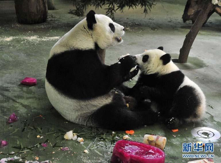 """高清:大熊猫宝宝""""圆仔""""一岁了"""