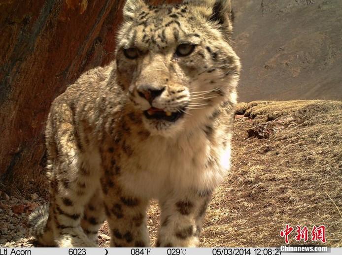 澜沧/高清:科研团队在澜沧江源区拍摄到雪豹38次
