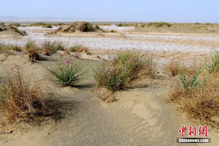图为罗布泊盐碱地上生长的稀疏植被。西海清歌 摄