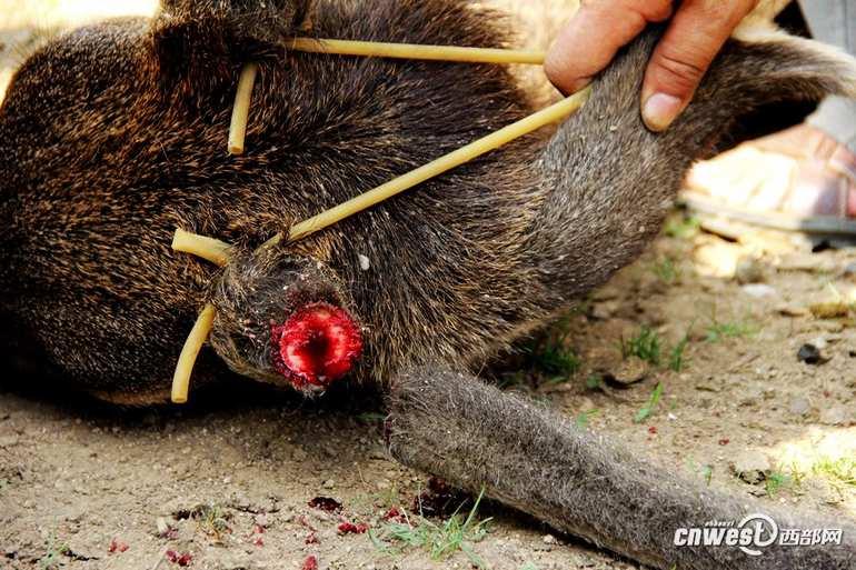 高清:记者实拍动物园割鹿角