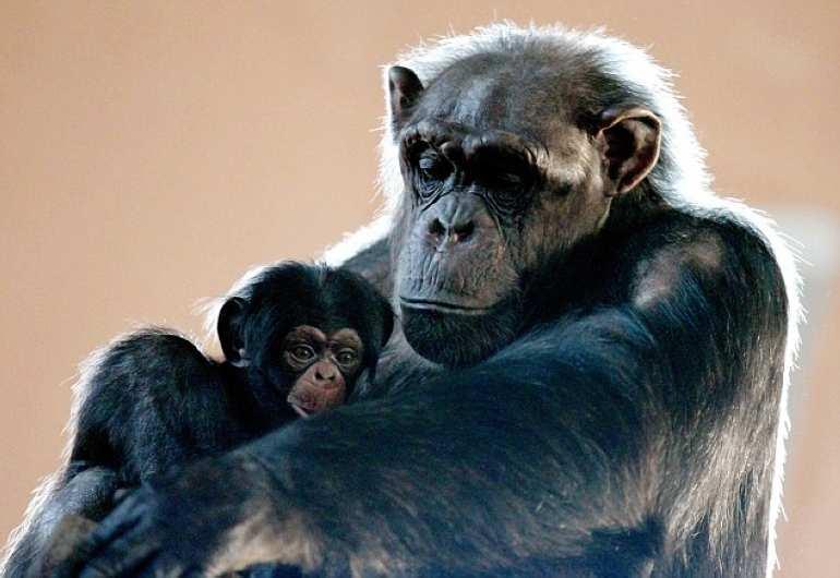 英国一只八周大的黑猩猩幼崽韦吕(Velu)20日和其母亲Heleen一起搬到爱丁堡动物园生活。初次和这里的其他家族成员在一起,韦吕似乎有些不适应,为寻求保护紧紧的抱住母亲,画面十分感人。 据悉,韦吕属于纯西方黑猩猩,是濒危动物的一种,也是第一次在苏格兰被成功饲养长达15年的一种黑猩猩。而此刻,刚刚融入黑猩猩大家庭的韦吕显然很依赖母亲,紧紧依偎在母亲身边,而其他的黑猩猩则在随绳索上下摇摆寻觅食物。虽然此刻韦吕还很小,毛发稀疏,但很快它就会拥有一头乌黑浓密、短而直的头发。不过,饲养员称其未来