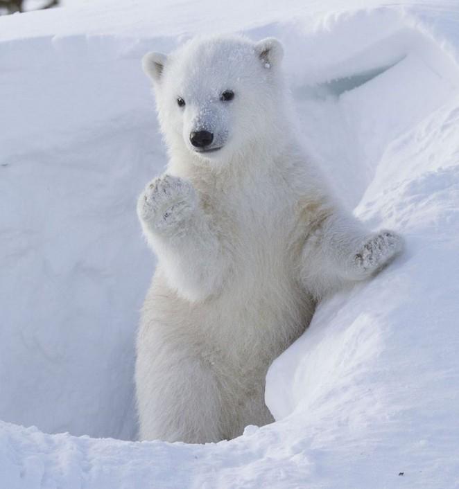 高清:加拿大公园北极熊宝宝拱手作揖萌翻观众【2】