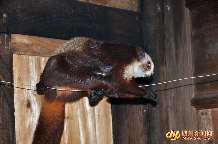 近日,泸州市古蔺县桂花乡汉溪村三组吴龙杰在自家屋后发现一只既像松鼠、又像狐狸;既像花猫,又像考拉的、会飞的奇怪动物。经县林业局工程师确认,该动物名叫红白鼯鼠,列入《国家保护的有益的或者有重要经济、科学研究价值的陆生野生动物名录》。昨(15)日,在古蔺县林业局、桂花乡政府相关人员的陪同下,吴龙杰将其放归自然。(朱茂 记者 岳东) 高清推荐: *南非河马宝宝惨遭凶猛鳄鱼撕咬 *