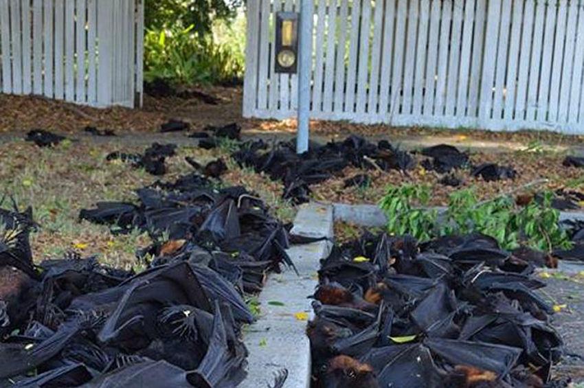 澳大利亚南部热浪_高清:澳大利亚遭热浪袭击温度高达44℃ 逾5000只蝙蝠中暑死亡