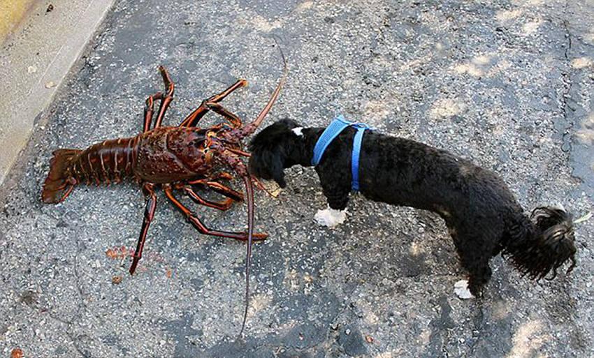 高清:美国男子捞到70岁巨型龙虾 曾带回家与狗做朋友【5】