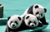 全球唯一大熊猫三胞胎