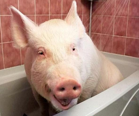 他们原以为这头小猪会一直保留迷你可爱的体型