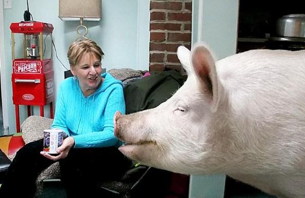 宠物,他们原以为这头小猪会一直保留迷你可爱的体型