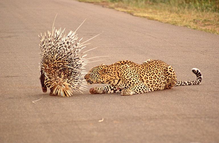 野生动物爱好者穆尔曼抓拍到这一场景.