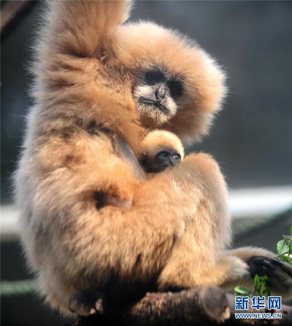高清:济南动物园珍稀金丝猴白颊长臂猿幼仔亮相【2】