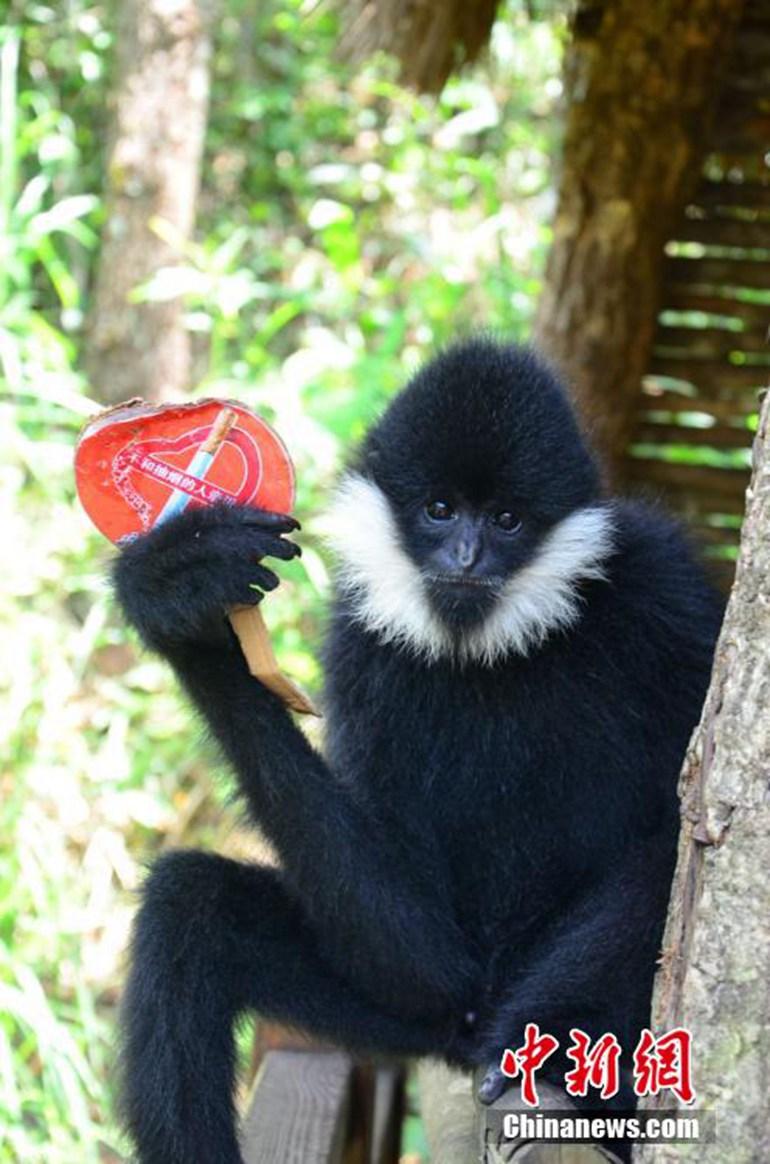 这些动物包括国家一级保护濒危动物白颊长臂猿,国家一级保护动物蜂猴
