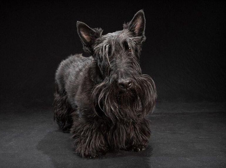高清:美摄影师为黑色狗拍美照拟破除迷信【5】