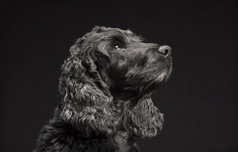 高清:美摄影师为黑色狗拍美照拟破除迷信【10】