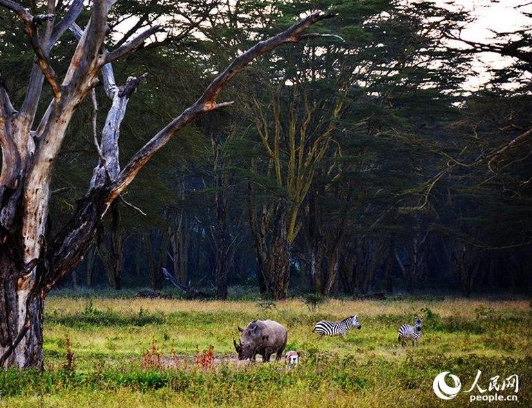 肯尼亚是非洲的一个很著名的国家,在这里你可以看到很多好玩的地方,可以尽情的游玩,尤其是这里的野生动物,肯尼亚是世界上非常著名的观看野生动物的国家,这里有着各种保护动物,而且受到世界上很所游客的喜爱,所以在肯尼亚野生动物园中,游客可以观看到数不清的野生动物种类。 高清推荐: *18张记录人类影响自然的照片 *