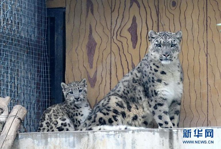 高清:济南野生动物园成功繁殖雪豹幼崽