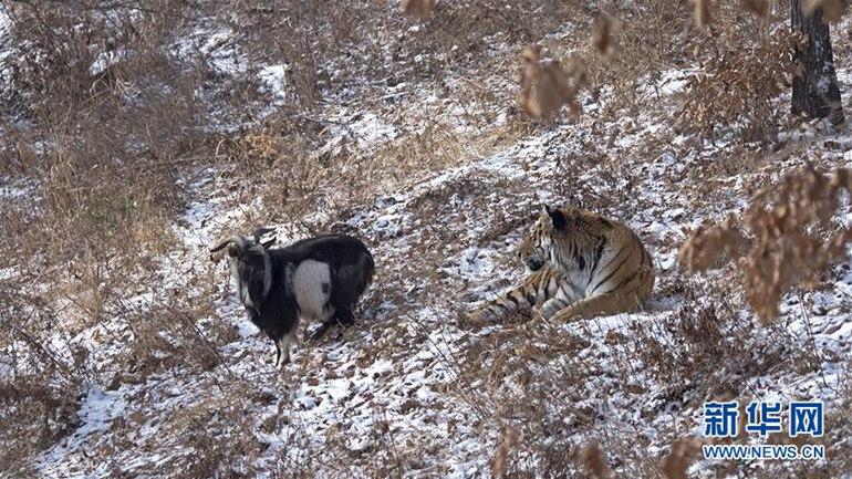 """高清:俄罗斯一动物园老虎和山羊做""""朋友""""【2】"""
