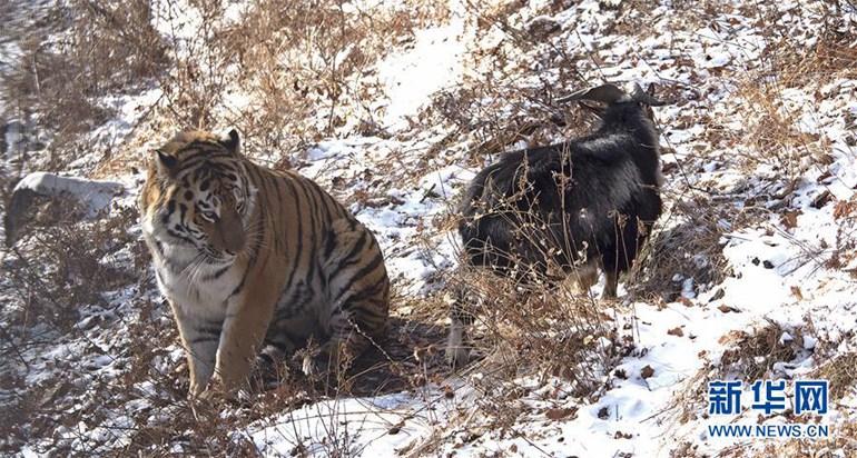"""高清:俄罗斯一动物园老虎和山羊做""""朋友"""""""