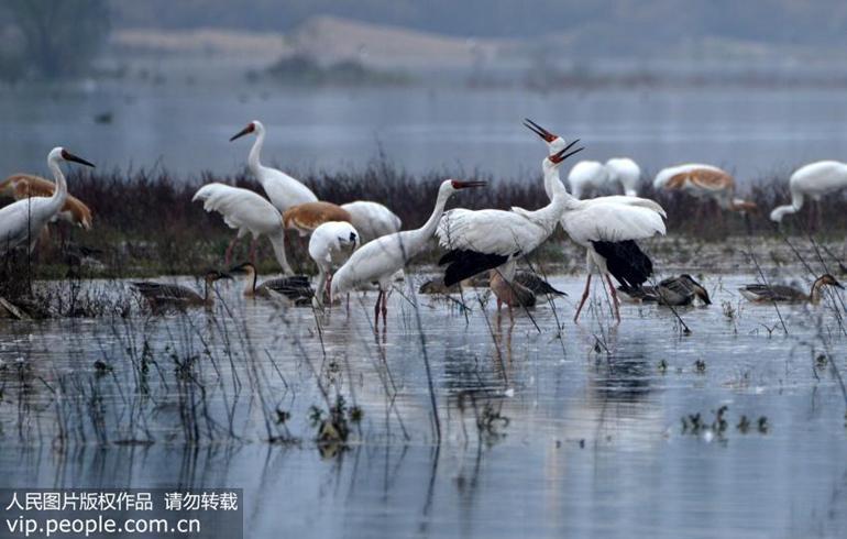 二级保护动物纷纷飞临大别山区