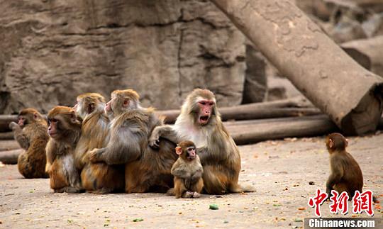 """高清:郑州动物园猴子""""抱团取暖""""御严冬"""