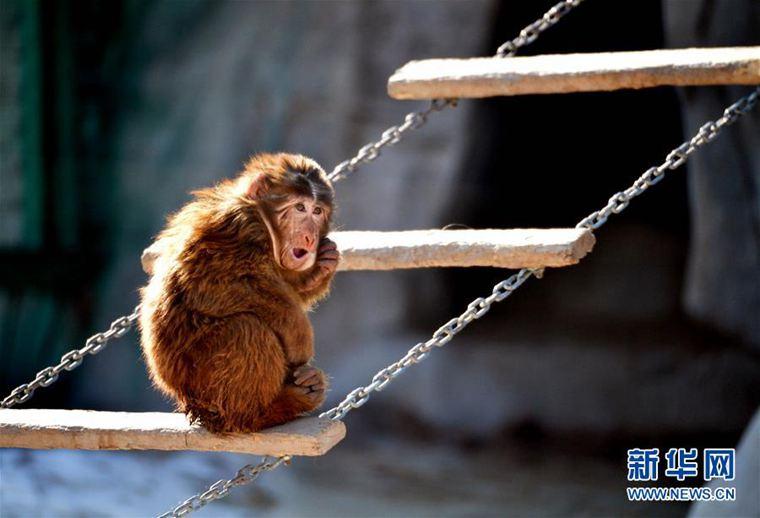市大青山野生动物园,一只藏酋猴在抓耳挠腮