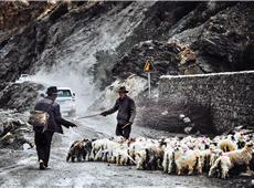 赶羊群(曾子豪 摄)