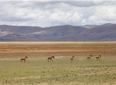藏野驴(韩加君 摄)