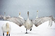 雪韵天鹅湖