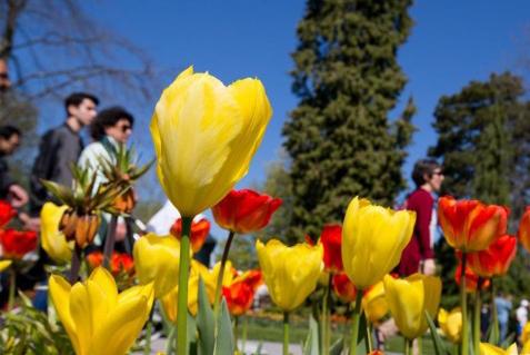 瑞士莫尔日郁金香节