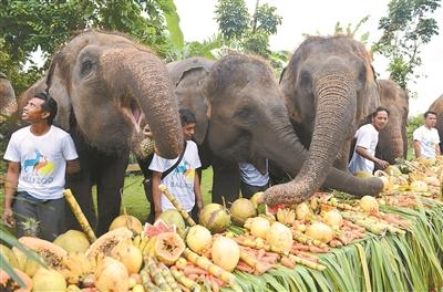 12日,在印度尼西亚巴厘岛动物园,苏门答腊象享受美食,庆祝世界