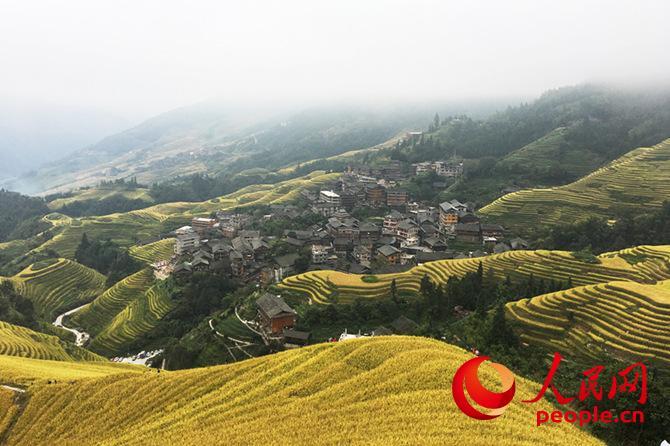 桂林龙脊梯田入秋批金 游客着民族服饰拍照也成风景