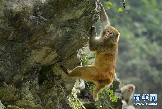 12月27日,在湖北省宣恩县狮子关村,一只猕猴在觅食。