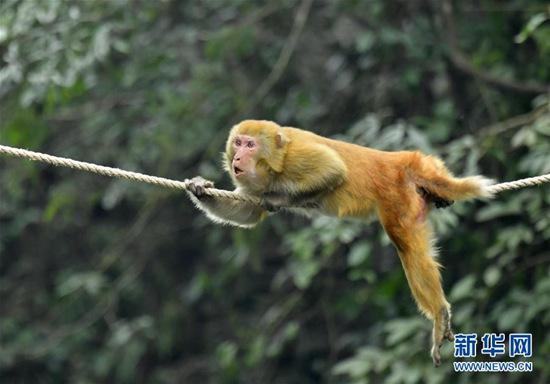 12月27日,在湖北省宣恩县狮子关村,一只猕猴沿着人们在河上拉的绳索,爬到河对岸觅取食物。