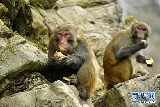 12月27日,在湖北省宣恩县狮子关村,猕猴在啃食红薯。