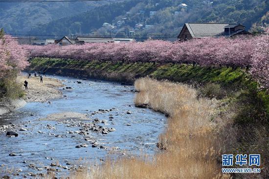 3月3日,在日本静冈县河津町,游人欣赏河津樱。