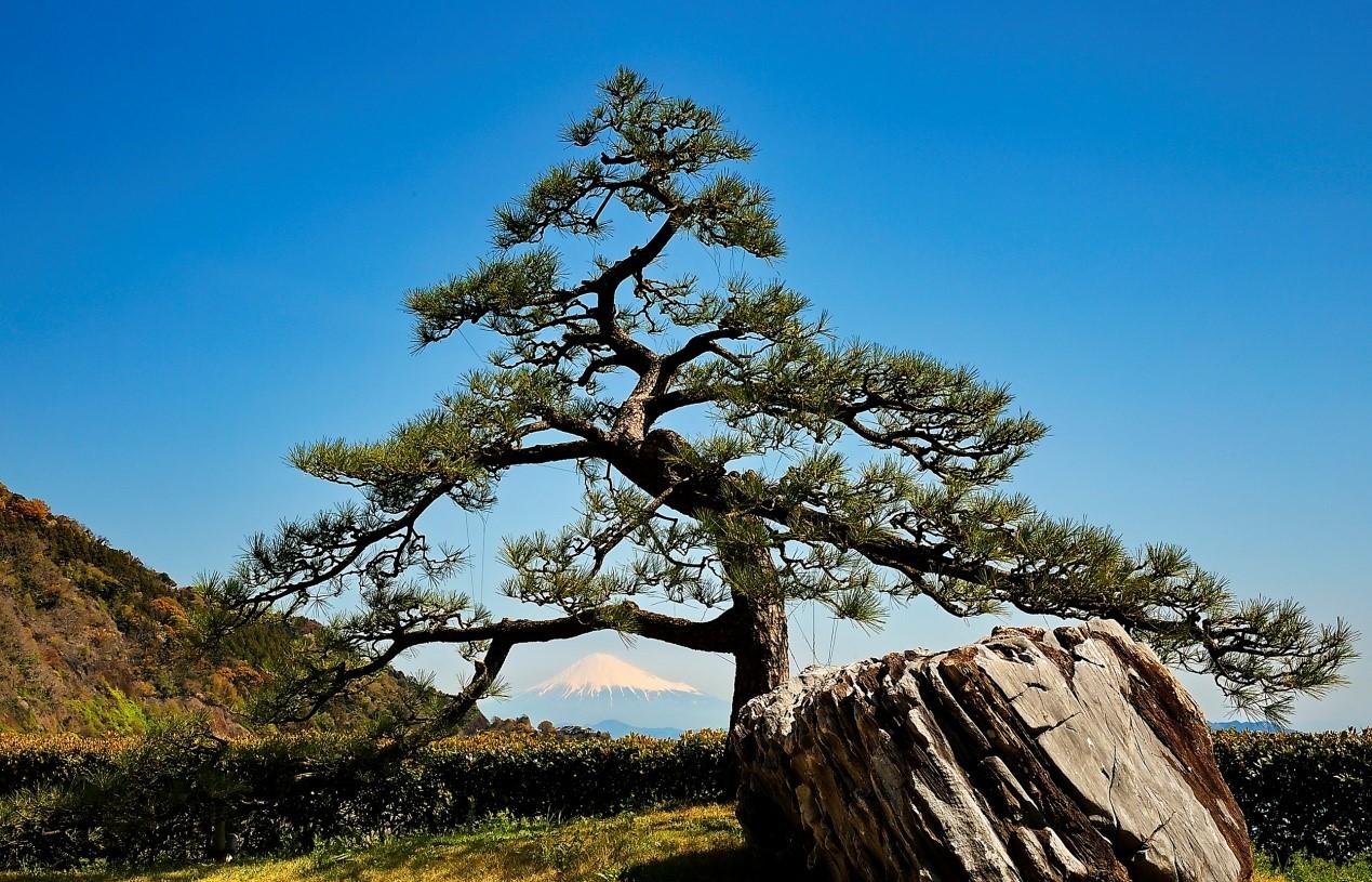 壁纸 风景 树 松 松树 1269_815