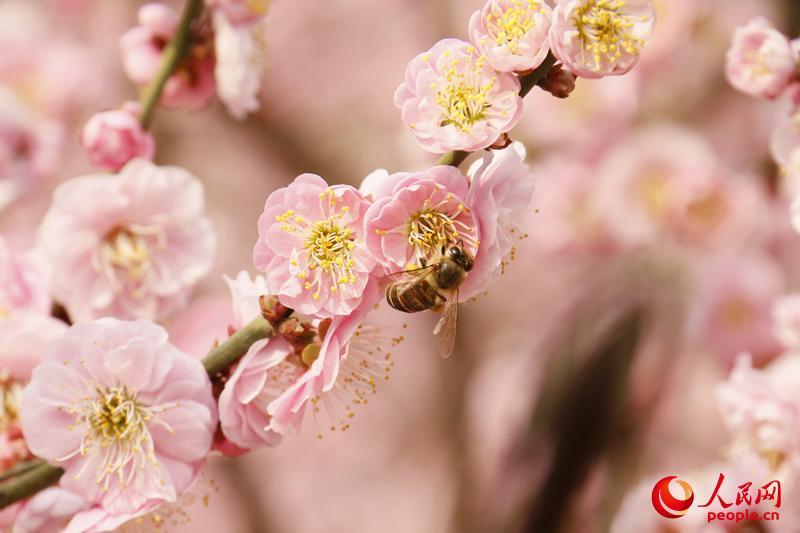 明城墙脚下梅花开满枝头,一只蜜蜂在忙碌着采食花蜜。(人民网 杨僧宇摄)