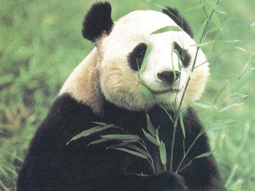 5rw354uu6yer5p2v6l2m_超萌熊猫卡通qq头像,可爱卡通萌熊猫头像,卡通