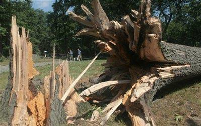 百年老树被连根拔起