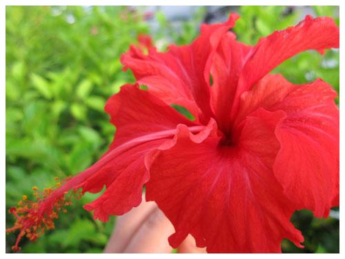 马来西亚国花-大红花