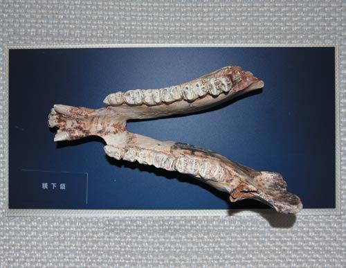 除爬行动物龟鳖类,蛇类完整骨骼和古鸟类化石外