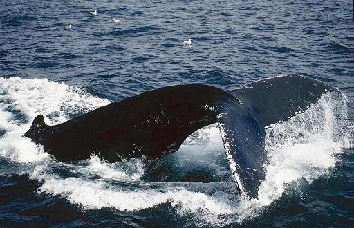 鲸qq头像