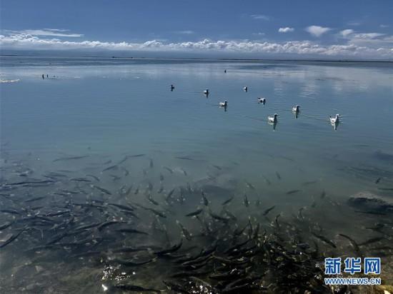 """(新华全媒头条·图文互动)(4)大湖见证 ——持续保护让青海湖生态华丽""""蝶变"""""""