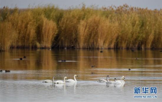 (环境)(3)水生态改善乌梁素海成鸟类天堂