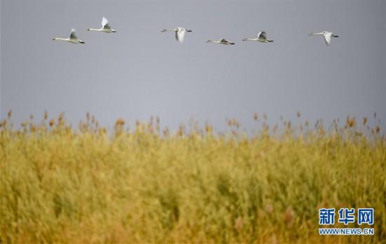 (新华视界)(1)水生态改善乌梁素海成鸟类天堂